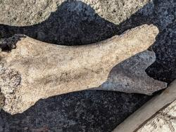 One of the bones the woman found in her backyard.