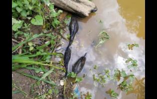 Dead fish seen in the Rio Cobre on Monday.