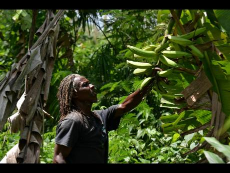 Everton checks on his plantains in Comfort Hall, St Mary.