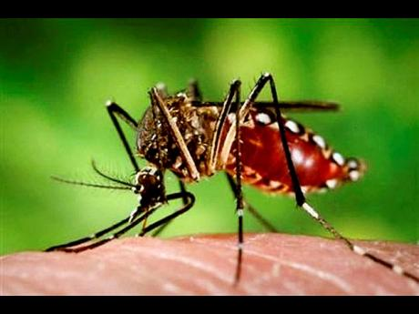 The female Aedes aegypti mosquito is the vector for Chikungunya virus.