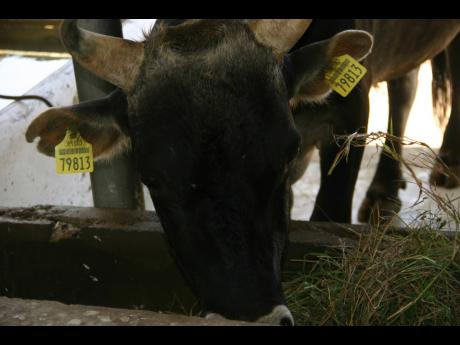 The tags, which bear an identification number unique to the animals, with a bar code containing all relevant information, is in keeping with the National Animal Identification and Traceability System, under which all cattle eventually get a 'passport'.
